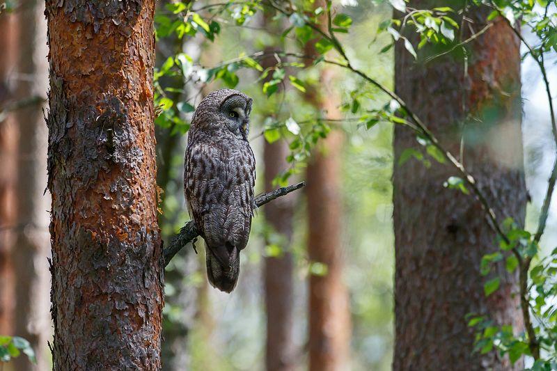 бородатая неясыть, сова, great grey owl, owl, сова На дневной охотеphoto preview