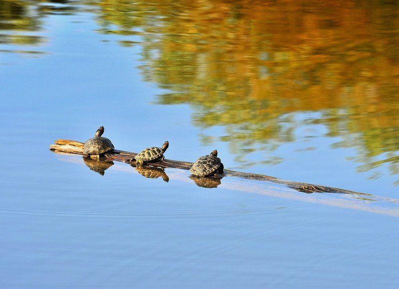 черепахи, утро, вода, рассвет Теплым утромphoto preview