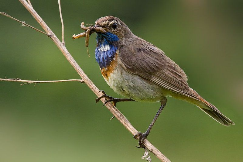 варакушка, птичка, самец, насекомые, добыча Жена, я вкуснятину принесphoto preview