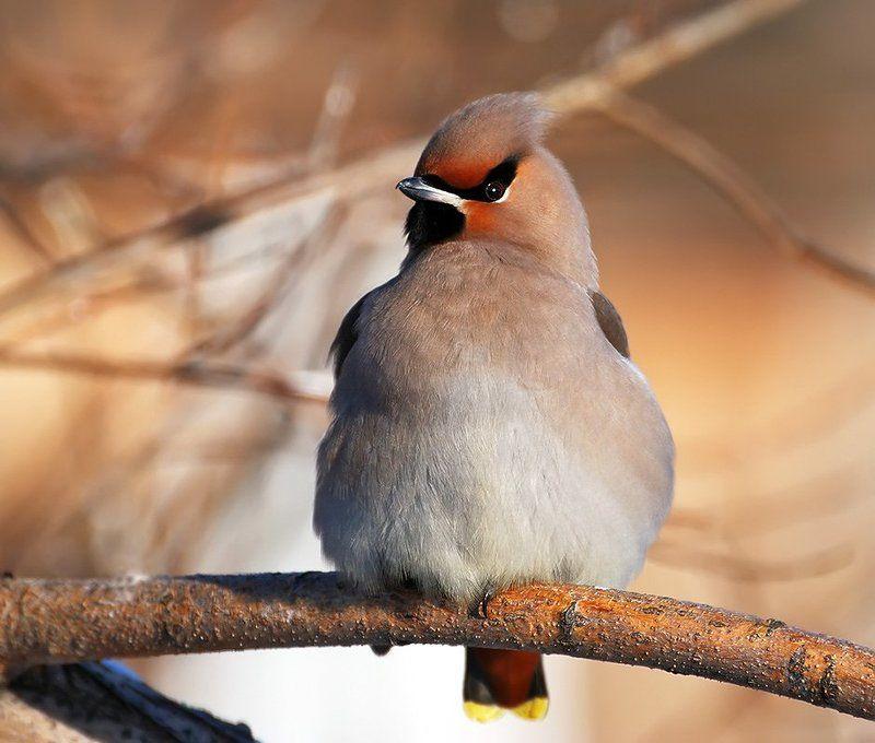 птица,свиристель Гордец...photo preview