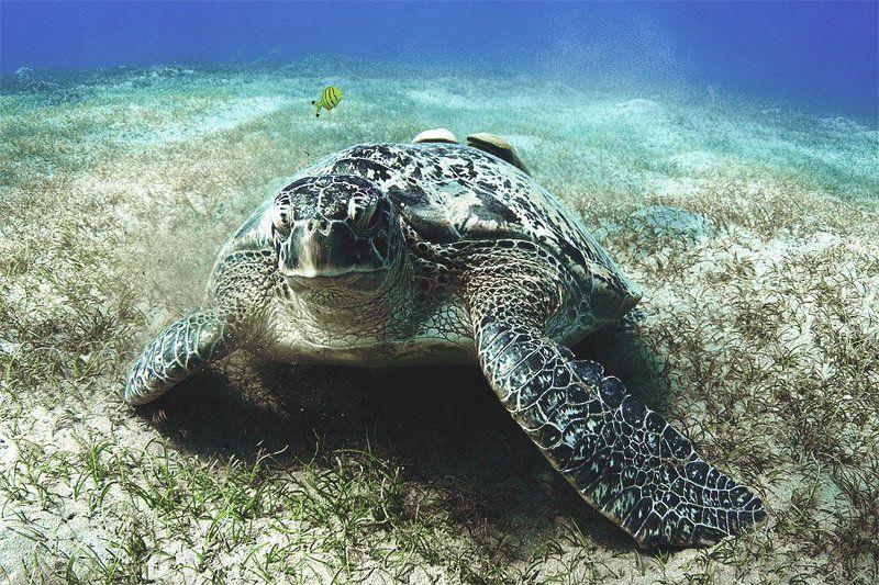 красное море, черепахи, дайвинг, марса алам. Ползу я ползу...photo preview
