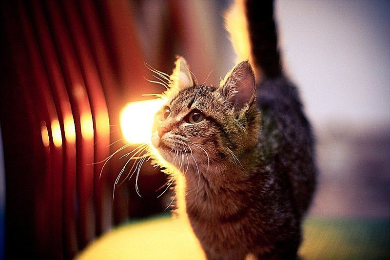 животные, кошка Люсяphoto preview