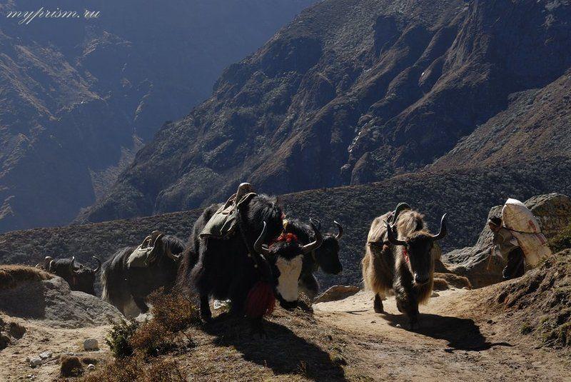 яки, гималаи, непал, горы Яки в путиphoto preview