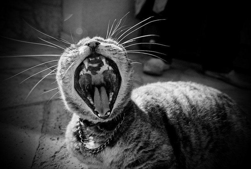 кошка, мурка, зев CatZillaphoto preview