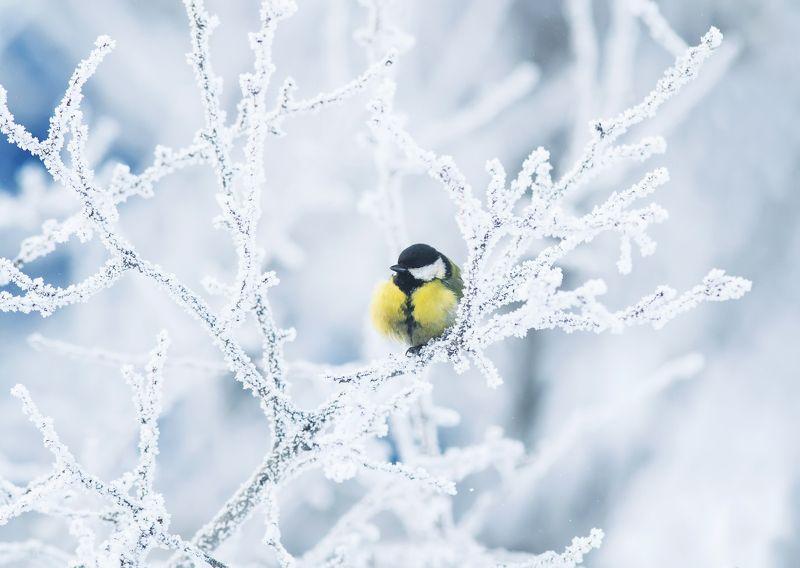 синица зимний лимончикphoto preview