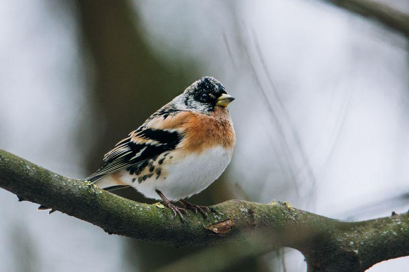 птица, фауна, природа Вьюрокphoto preview