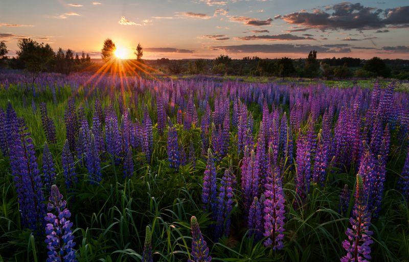 лето, закат, цветы, люпины, никон, солнце Люпиновый закатphoto preview