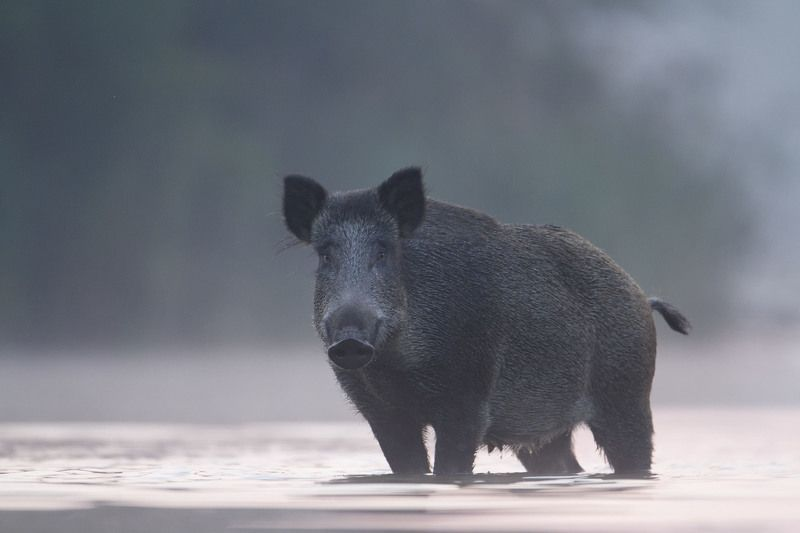 wild boar, mist, sunrise, pond, nature, wildlife, morning Wild Boarphoto preview