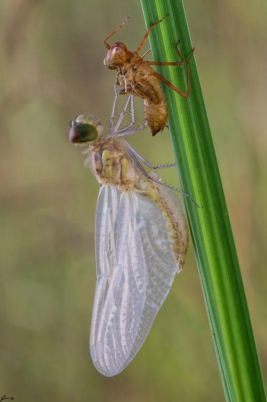 macro, makro, wild, wildlife, dragonfly, nature, insect Cordulia aeneaphoto preview