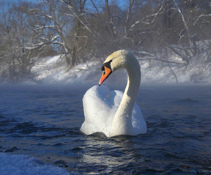 лебедь,зима,птицы -27 C. Перезимуемphoto preview