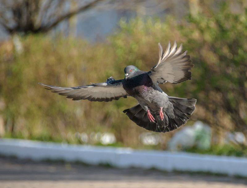 сизый голубь, парк, одиноцово, город, весна, май, полёт, динамика, columba livia, nikon d500 Тренировка на голубяхphoto preview