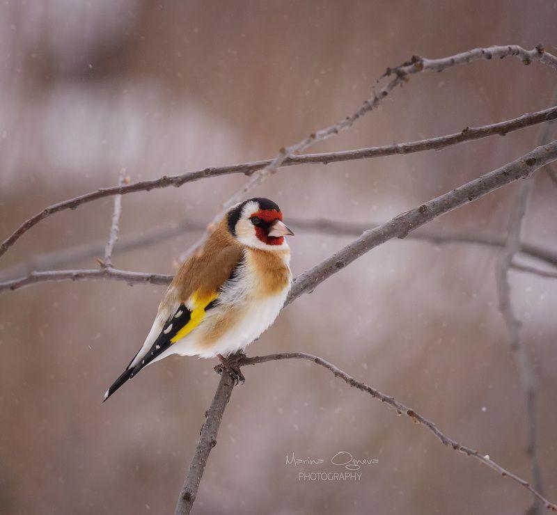 щегол, птицы, дубонос А у нас за окном ...photo preview