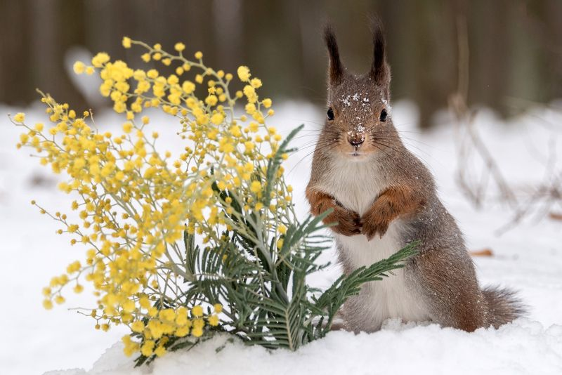 мимоза, белка, 8 марта, весна 8 Марта без мимозы - не праздник! С праздником, нас, девочки!photo preview