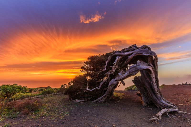 el hierro, el sabinar tree, canary island, sunset The Wild Juniper Tree in El Hierrophoto preview