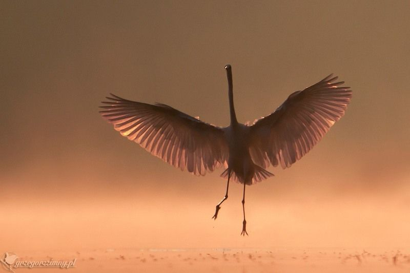 great egret, mist, sunrise, pond, nature, wildlife, morning Phoenixphoto preview