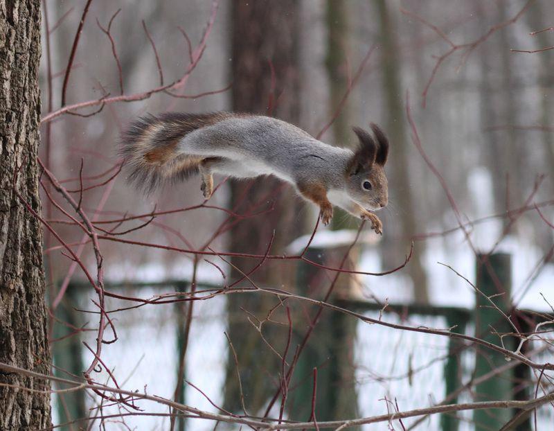 Белка в прыжкеphoto preview