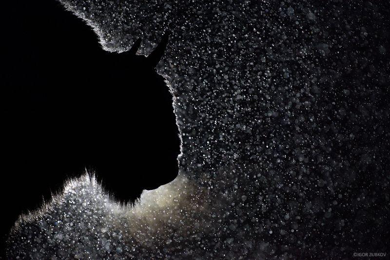 зубр, метель, снег, ночь, калужские засеки, european bison, bison, night, snow, дыхание Ночной гостьphoto preview