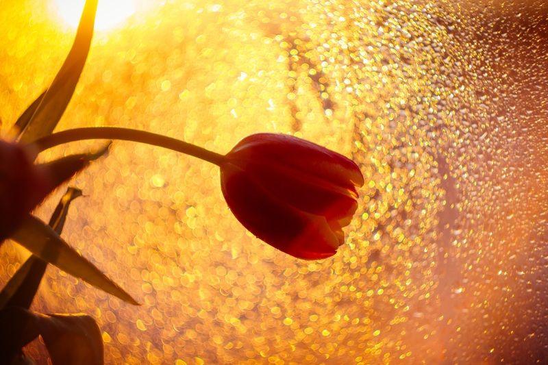 макро, тюльпан, весна, утро, солнце Солнечный тюльпанphoto preview