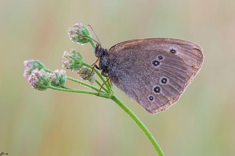 macro, makro, flowers, wild, wildlife, buttrrfly, nature, insects Aphantopus hyperantusphoto preview