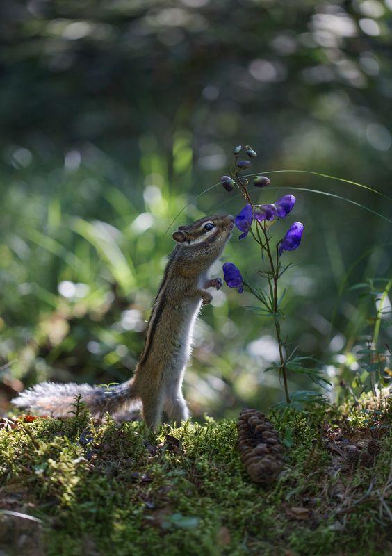 якутия, нерюнгри, бурундук, аконит Ценитель прекрасногоphoto preview