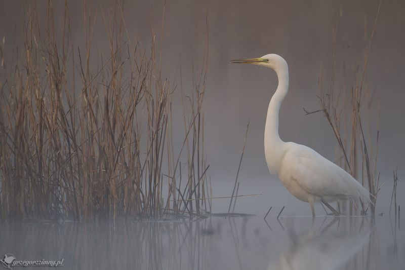 great egret, mist, sunrise, pond, nature, wildlife, morning Great Egretphoto preview