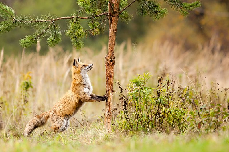 fox, fuchs, red fox, wildlife, shelter, hide, poland, fields, autumn, eye, lucky, tree, strange Morning yogaphoto preview
