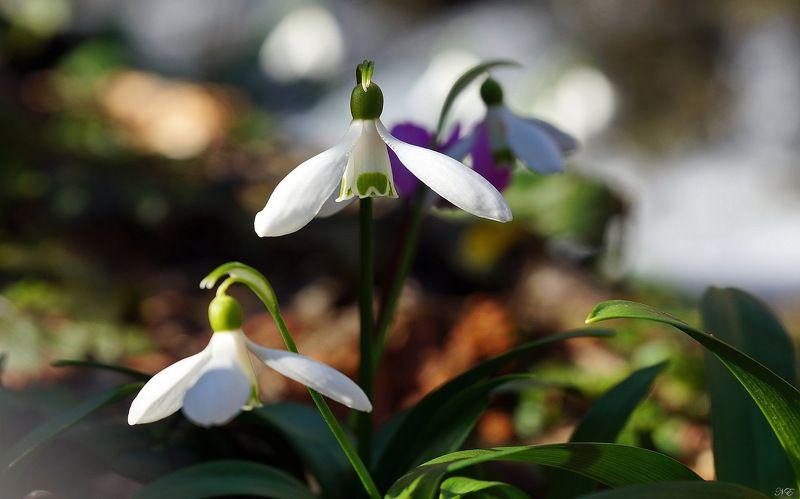 весна март подснежники Март.photo preview