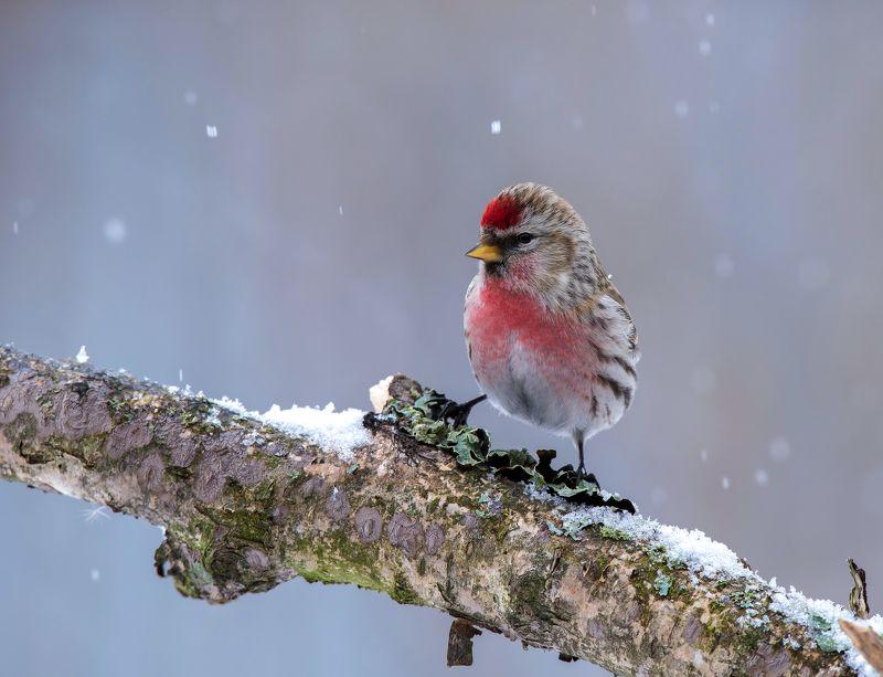 птицы,природа,зима, Чечёткаphoto preview