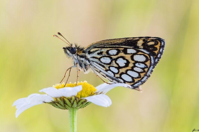 macro, makro, flowers, wild, wildlife, buttrrfly, nature, insects Heteropterus morpheusphoto preview