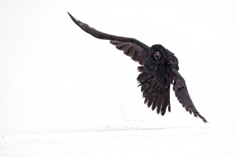 raven, черный ворон черный воронphoto preview