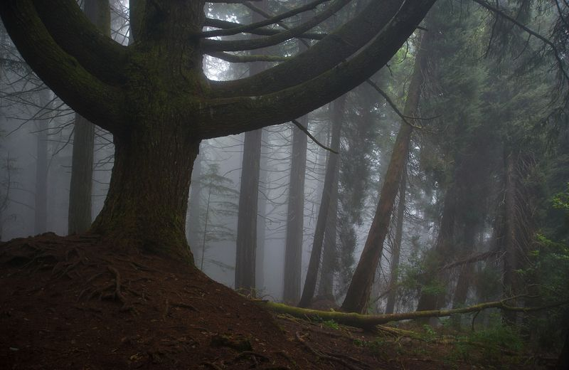 madeira, forest, fog, misty, moss The old tree.photo preview