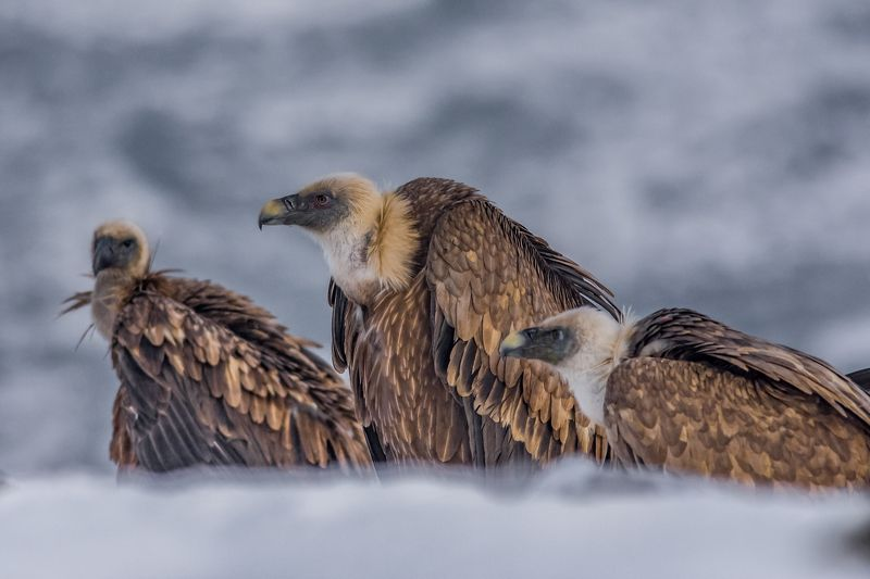 vulture,лешояд,mountain,snow,winter Vultures in the coldphoto preview