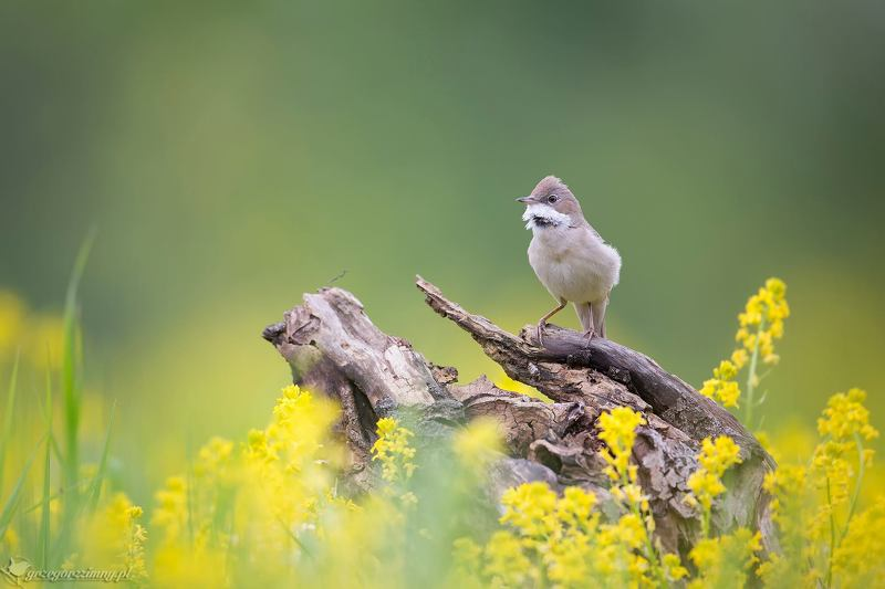 common whitethroat Whitethroatphoto preview