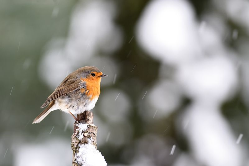 nature, animal, bird, birding, winter Snowing again I.photo preview