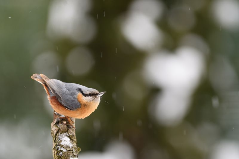 nature, animal, bird, birding, winter Snowing again III.photo preview