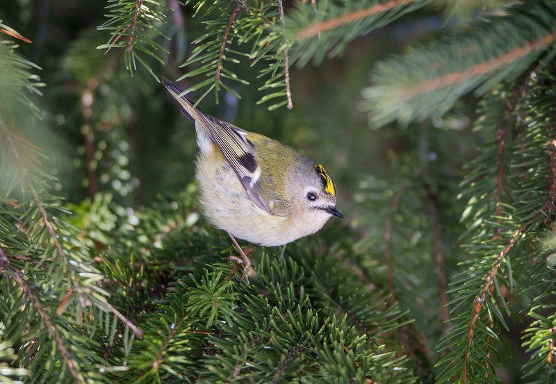 goldcrest, christmastree, bird, wildlife, королек, желтоголовый королек, ель, елка, дикая природа Желтоголовый королекphoto preview