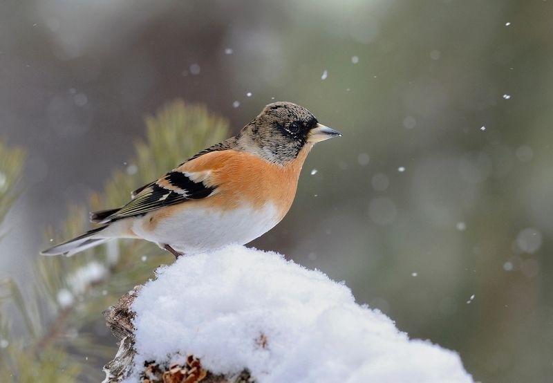вьюрок,юрок,снег,зима,бор Вьюрок зимойphoto preview