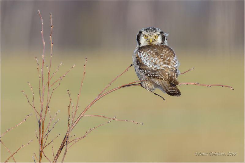 птицы, совы, сова, ястребиная сова, surnia ulula, northern hawk owl, весна, март, 2018, подмосковье Ястребинкаphoto preview