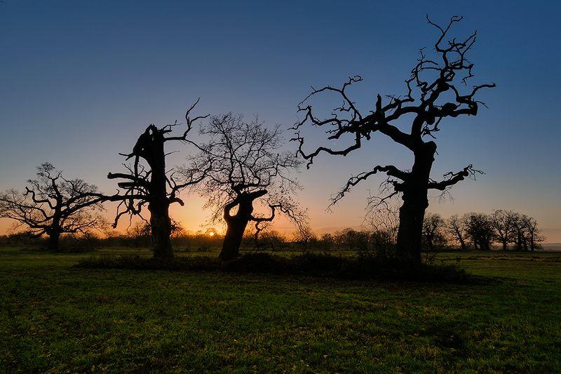 tree, trees, sunset, oak, meadow Rogalin Oaksphoto preview