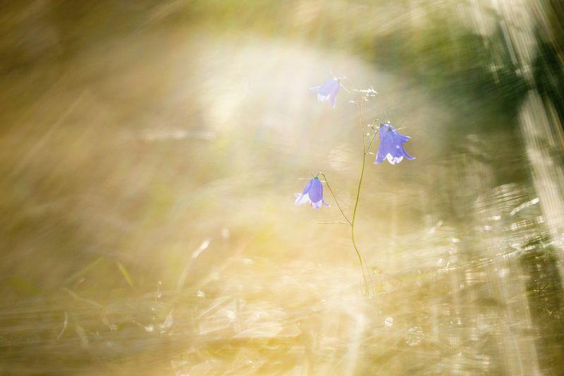 цветы,цветок,макро,растения,природа,колокольчик,свет В лучах закатаphoto preview