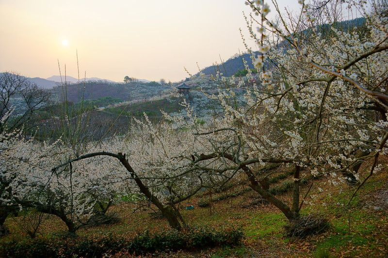korea,jeollanamdo,spring,mountain,plum,flower,morning,sun, Morning of Gwangyang Plum Villagephoto preview