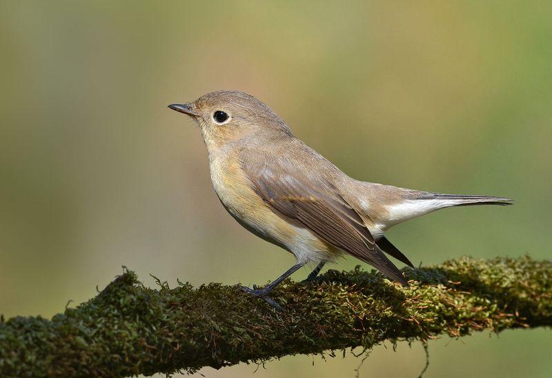 птица,малая мухоловка,бор Малая мухоловкаphoto preview
