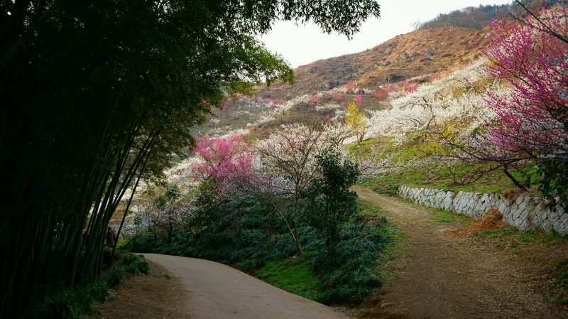 korea,spring,plum,mountain,morning,bamboo,path,flower, Morning of Gwangyang Plum Villagephoto preview