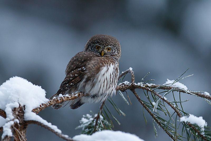 воробьиный сычик, сова, pygmy owl В зимнем антуражеphoto preview