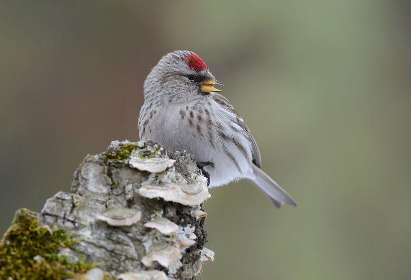 птица,чечётка,самка,бор Чечётка самочкаphoto preview