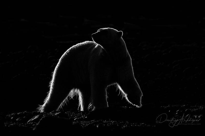 Белая  медведица в контровом свете.photo preview