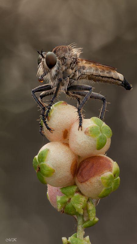 ктырь, asilidae, robber fly Братанphoto preview