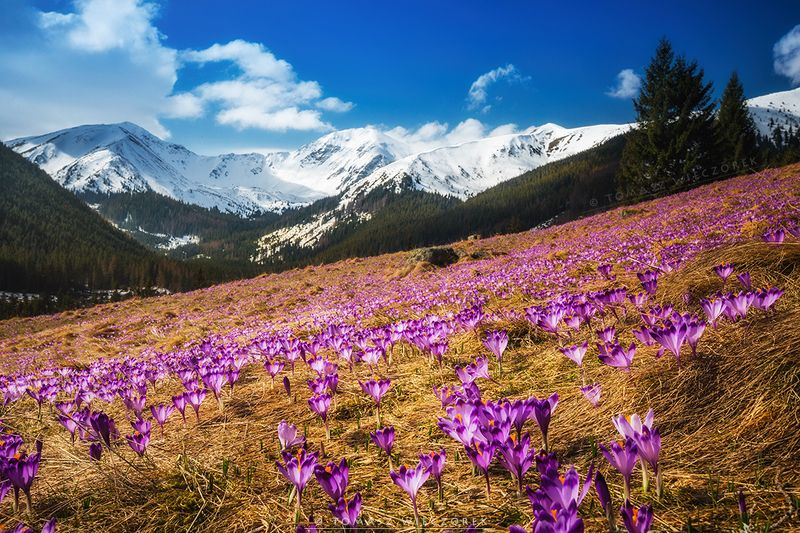 poland, polish, tatry, tatras, mountains, spring, crocus, colours, valley, clouds, snow, beautiful Springtime in Tatra Mountainsphoto preview
