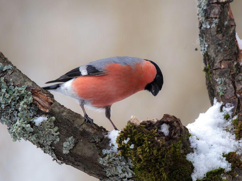 птицы,природа,весна Снегирьphoto preview