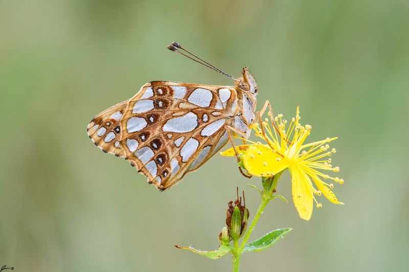 macro, makro, flowers, wild, wildlife, buttrrfly, nature Issoria lathoniaphoto preview